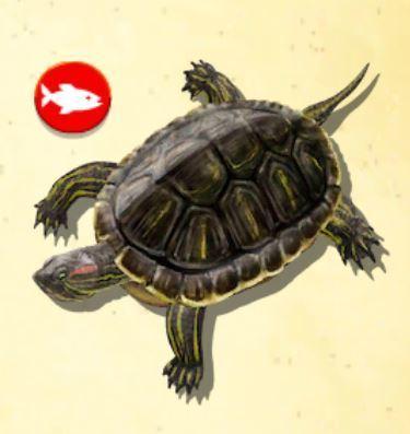 ミシシッピアカミミガメ.jpg